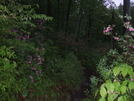 Wild Azalea by sasquatch2014 in Views in Massachusetts