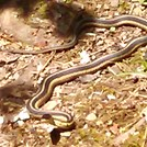 Snake on The Trail by GoldenBear in Snakes