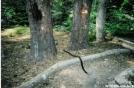 Rattlesnake at Matt's Creek shelter