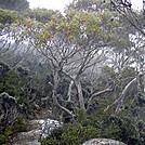 Unique Australia Trees, Mount Wellington, Tasmania