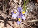 Iris by Pony in Flowers