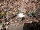 Bloodroot by Pony in Flowers