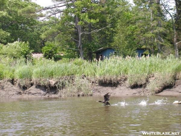 Bird taking off, salt water marsh Maine