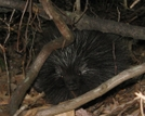 Porcupine In Rupp Hollow On Pa Mst by Camping Dave in Other