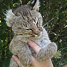 Deceased Juvenile Bobcat by johnnybgood in Other