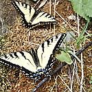 Swallowtail Butterflys
