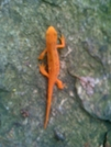 Salamander Sticking Out Like A Sore Thumb On A Green Trail, Pictured On A Rock. by darkage in Other