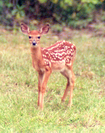 Whitetail Fawn by MoBill122 in Deer