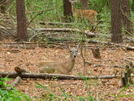 Doe With Spotted Fawn by MoBill122 in Deer