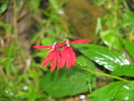 Red Cardinal Flower by MoBill122 in Other