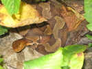 Copperhead Closeup