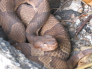 Copperhead Near 225 by Wags in Snakes