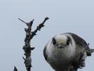 Canada Jay by Pathfinder in Birds