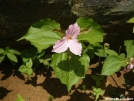 Pink Trillium by MedicineMan in Flowers