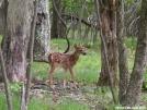 Shenandoah Faun by MedicineMan in Deer
