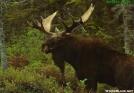 Bull Moose by Kozmic Zian in Moose