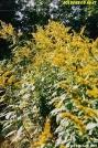 Goldenrod by Kozmic Zian in Flowers