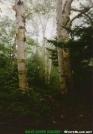 Big Silver Birches In VT