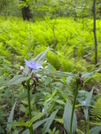 spider wort.  AT GA by buzzamania in Flowers