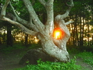 Gnarled Oak At Sunset