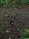 Dogs-jack The Hiking Chihuahua by cool breeze in Trail & Blazes in Georgia
