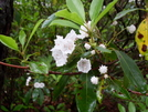 These are Mountain Laurel. by Homer&Marje in Flowers