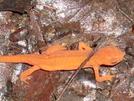 Salamander by Homer&Marje in Trail & Blazes in Connecticut