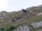 Ravens? On Lafayette