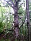 Holloween Tree by Slo-go'en in Views in Vermont
