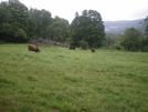 Cows by Slo-go'en in Views in Vermont