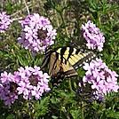 Tiger Swallowtail On Rose Verbana by Zabigail in Members gallery