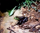 Bull Frog by Hikehead in Other