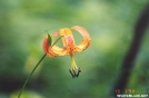 Tiger Lilly by Hikehead in Flowers