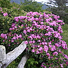 Roan flowers by sarge95 in North Carolina &Tennessee Trail Towns
