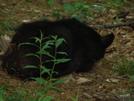 Virginia Bears