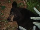 Virginia Bears by Bilbo in Bears