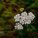 Big Meadows by Heald in Flowers