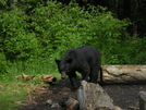 Bear At Mt Collins by bflorac in North Carolina & Tennessee Shelters