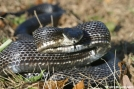 Black Snake by Tripod in Snakes