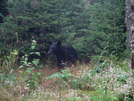Black Bear At Mt. Laconte Shelter In Gsmnp by Tripod in Bears