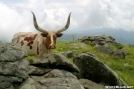 Hump Mountain Longhorn by Tripod in Other