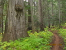 Old Growth Forest (pct 08)
