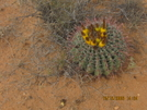Barrel Cactus by K.B. in Continental Divide Trail
