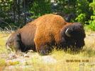 Cdt 2010 Bison Y.n.p. by K.B. in Continental Divide Trail