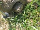2009-0609c Snapping Turtle by Highway Man in Views in Virginia & West Virginia