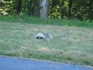 2009-0630c Skunk On Trail by Highway Man in Views in Virginia & West Virginia