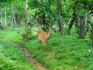 2009-0702a Doe And Fawn On Trail by Highway Man in Views in Virginia & West Virginia