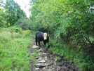 2009-0828a Young Cow In My Way by Highway Man in Trail & Blazes in Vermont