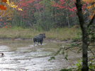 2009-1005e A Cow Moose In A Rain Storm by Highway Man in Moose