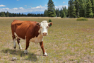 20100821a Colorado Trail - A Worried Cow by Highway Man in Members gallery